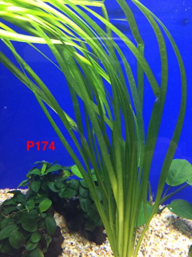 Exotic Live Aquatic Plant For Fresh Water Aquarium Vallisneria spiralis Potted P174 By Jayco BUY 2 GET 1 FREE by Jayco (Image #3)
