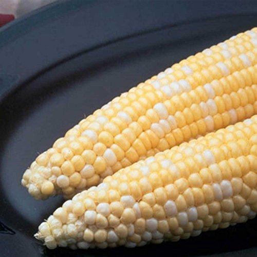 - Ambrosia Hybrid Corn Garden Seeds (Treated) - 1 Lb - Non-GMO, Bi-Color SE Vegetable Gardening Seeds - Yellow & White
