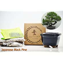 9GreenBox - Japanese Black Pine Bonsai Seed Kit- Gift - Complete Kit to Grow Japanese Black Pine Bonsai from Seed