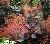 Grace Red Smoke Tree ( smokebush ) - Live Plant - Quart Pot