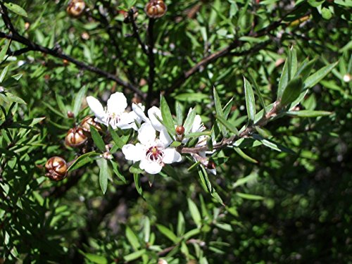 - Asklepios-Seeds | 500 Leptospermum scoparium Seeds, viable and Real Manuka Myrtle, New Zealand teatree Honey Seed