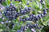 ARONIA MELANOCARPA 'VIKING' - BLACK CHOKEBERRY- EDIBLE- STARTER PLANT