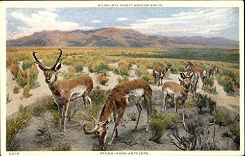 Prong Horn Antelope Other Animals Original Vintage Postcard from CardCow Vintage Postcards