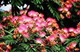 15 Seeds Persian Silk Tree, Pink Siris Albizia julibrissin