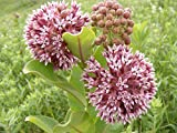100 Pink Common Milkweed (Asclepias Syriaca) Flower Seeds