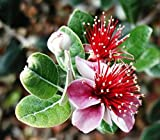 Pineapple Guava, Feijoa sellowiana, Tree Seeds (Edible, Showy Evergreen) 30 seeds