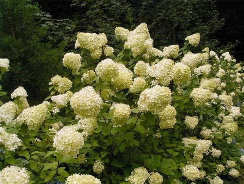 Details About Pee Gee Hydrangea - H. paniculata Grandiflora - 1 Gallon Live Plant. Bare -