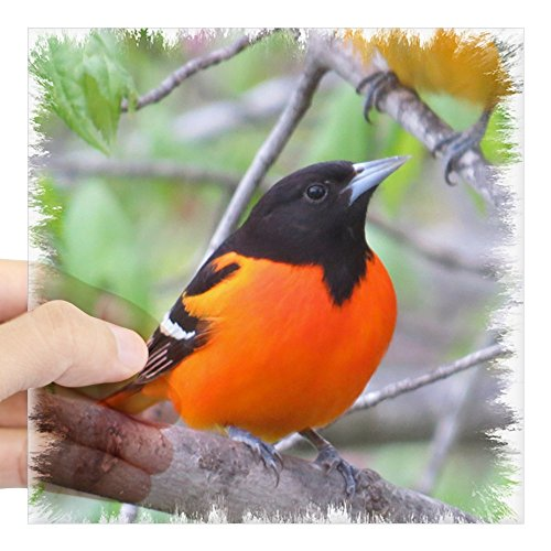 CafePress Baltimore Oriole Square Sticker 3
