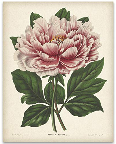 Vintage Mountain Peony Illustration - 11x14 Unframed Art Print - Makes a Great Gift Under $15 for Nature Lovers