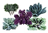1000+ Kale Mixed Seeds ORGANICALLY Grown - Please Read! This is a Mix!!! Scarlet Kale, Dwarf Blue Curled, Lacinato Dinosaur, Siberian Dwarf, Russian Red, Heirloom Non-GMO Product of The USA