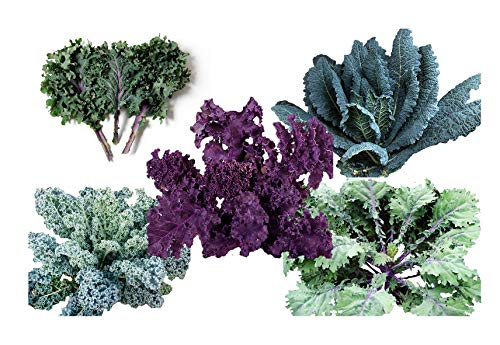 1000+ Kale Mixed Seeds ORGANICALLY Grown - Please Read! This is a Mix!!! Scarlet Kale, Dwarf Blue Curled, Lacinato Dinosaur, Siberian Dwarf, Russian Red, Heirloom Non-GMO Product of The ()