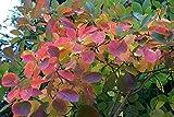 1 Starter Plant of Cotinus Obovatus - Smoke Bush
