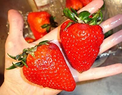 Organic Heirloom 300 Giant Strawberry Seeds Rare Fragaria Ananassa Huge Fruit Bulk A1300