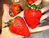 buy Organic Heirloom 300 Giant Strawberry Seeds Rare Fragaria Ananassa Huge Fruit Bulk A1300 now, new 2018-2017 bestseller, review and Photo, best price $1.73