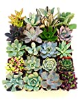 This beautiful succulent assortment is a perfect addition to any garden! This collection includes 5 stunning succulents.This packs include a beautiful array of colors and textures that is intended to amaze. Each order is meticulously packaged...