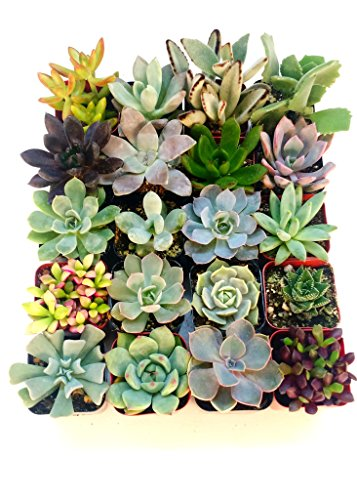 Shop Succulents | Unique Collection of Live Succulent Plants, Hand Selected...