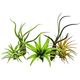 #3: Bliss Gardens 5 Pack Assorted Tillandsia Air Plants