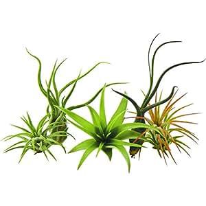 Bliss Gardens 5 Pack Assorted Tillandsia Air Plants