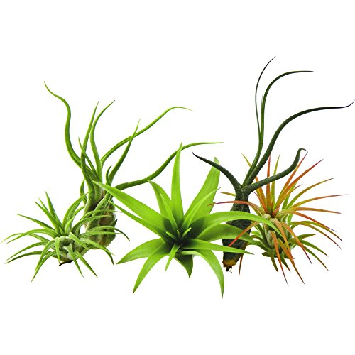 5 Pack Air Plant Tillandsias by Bliss Gardens/Live House Plants Includes Gift Box
