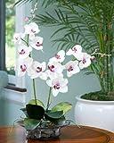 Phalaenopsis Silk Orchid - Cream/Fuchsia