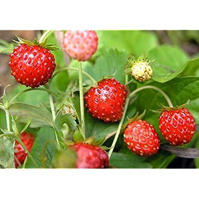 Strawberries Seeds Rugen remontant Fruit Early from Ukraine 0.1 Gram : Garden & Outdoor