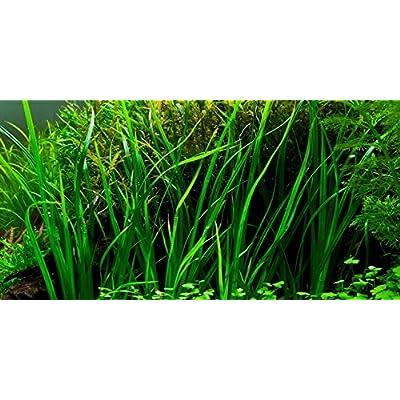 Water Plants Cyperus helferi - Live Aquarium Plant: Pet Supplies