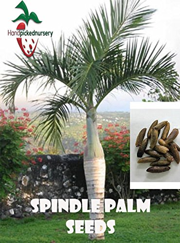 Amazon.com: 50 husillo Palma de semillas, (Hyophorbe ...