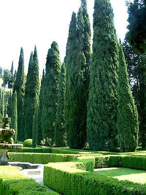 (1 Packet of 100 Seeds Italian Cypress Tree, Cupressus Sempervirens, Mediterranean Cypress, Tuscan Cypress, Graveyard Cypress)