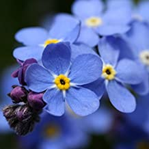 Forget Me Not 100+ Seeds Organic Newly Harvested, Beautiful Abundant Blooms