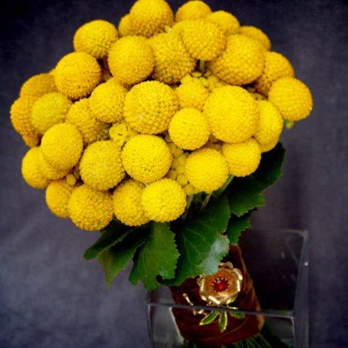 20 BILLY BUTTONS / WOLLYHEADS Craspedia Globosa Flower ()