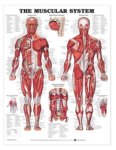 - The Muscular System Anatomical Chart Poster Print Laminated Poster 20 x 26in