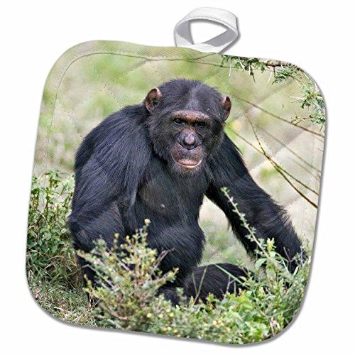 3dRose Danita Delimont - Chimpanzees - Chimpanzee, Sweetwater Chimpanzee Sanctuary, Kenya-AF21 AJE0244 - Adam Jones - 8x8 Potholder (phl_71064_1)