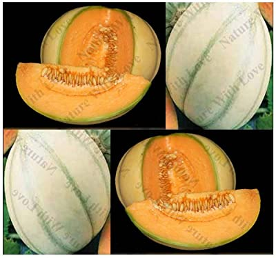 20 CHARENTAIS CANTALOUPE Melon seeds SIZE OF SOFTBALL ~HIGHLY aromatic & Sweet