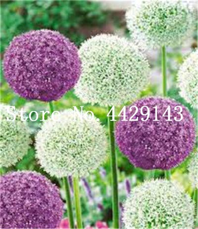 Prime 100 pcs semillas de Flores Exotic Giant Allium Plant Perennial Ornamental Flower Seeds for Garden Decoration Gift for kid1