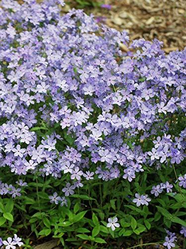 Phlox Plant Creeping - Perennial Farm Marketplace Phlox divaricata 'Blue Moon' (Woodland) Perennial Size-#1 Container', Bluish Voilet Flowers