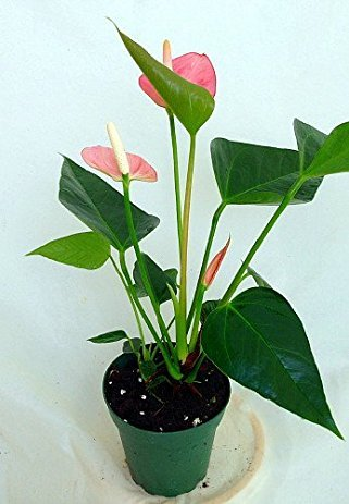 Anthurium Pink - Live House Plant - Easy to Grow - Florist Quality - Cleans the Air by Florida Foliage (Image #1)'