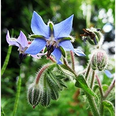 30 Borage Seeds Borago Officinalis Boraginaceae Herb Organic Planting Easy to Grow Garden Yard Seed : Garden & Outdoor