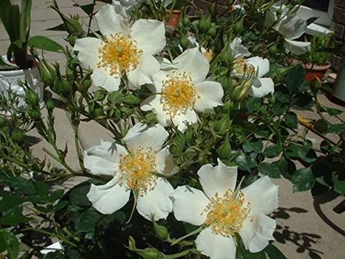 WEDDING DAY - 5.5lt Potted Rambling Garden Rose - Creamy White Blooms - Perfect Wedding Gift Idea