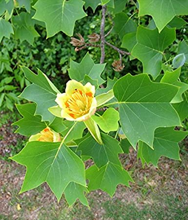 Amazoncom 50 Seeds Liriodendron Tulipifera Seeds Beautiful Foilage
