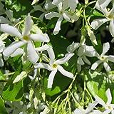 LovelyGarden Star Jasmine Vine Plant - Trachelospermum Jasminoides - Highly fragrant