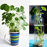 50Pcs/bag Copper Grass Aquatic Plant Bonsai Annual Garden Ornament Cold Water Flower Seeds Pilea Seeds Indoor Putdoor Pot Seed