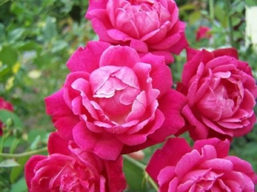 (LOUIS PHILIPPE ROSE - RED - 1 PLANT - 2