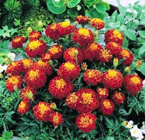Modern Plants Live Marigold Maroon Flower Plant With Pot (with flower on the plant) (B07JLF5RQ7) Amazon Price History, Amazon Price Tracker