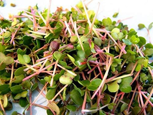 100 Seeds Organic China Rose Radish Sprouting Seeds