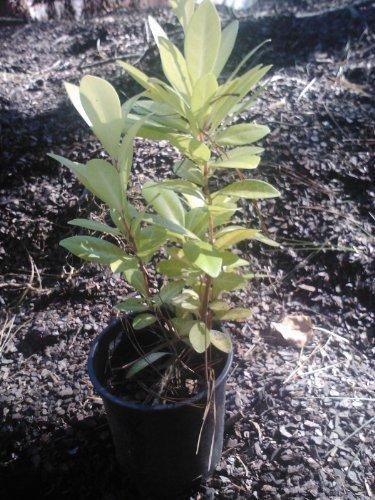 1-quart-florida-sunshine-anise-ocala-yellow-star-year-round-glowing-light-green-leaves-wonderfully-l