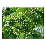 Camptotheca acuminata - Happy Tree - Tree of Life - 10 Seeds
