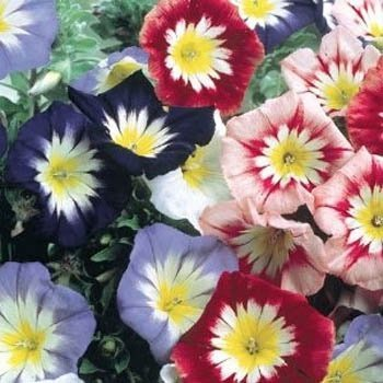 Amazon com : 40+ Dwarf Tricolor Morning Glory Seeds : Garden & Outdoor