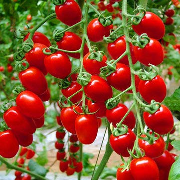 potted tomato seeds - 4