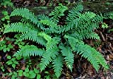 Classy Groundcovers - Polystichum acrostichoides Nephrodium acrostichoides {10 Bare Root Plants}