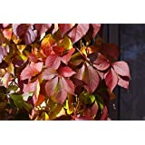 Red Wall ™ Virginia Creeper - Parthenocissus - Proven Winner